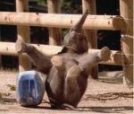 elefante gargalhada